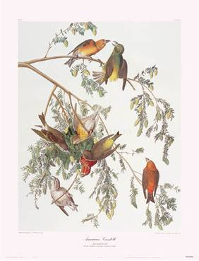 American Crossbill art print by John James Audubon