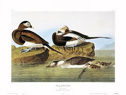 Long Tailed Duck art print by John James Audubon